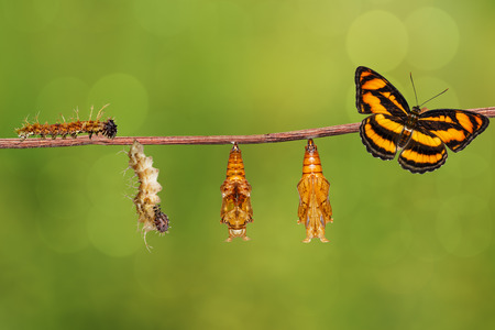 Life cycle of colour segeant butterfly ( Athyma nefte ) from caterpillar and pupa hanging on twig Stock Photo