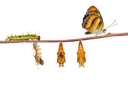 Isolated life cycle of colour segeant butterfly ( Athyma nefte ) from caterpillar and pupa on white with clipping path Stok Fotoğraf