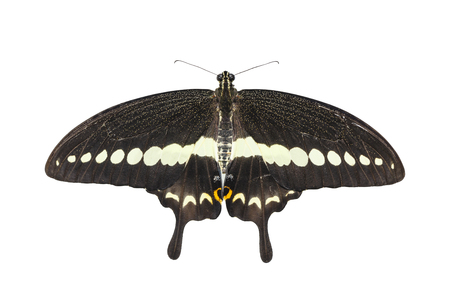 Isolated top view of banded swallowtail butterfly (Papilio demolion) with clipping path
