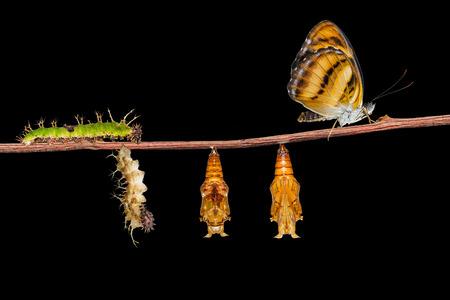 Levenscyclus van kleur segeant vlinder (athyma nefte) van rups en pop opknoping op twing