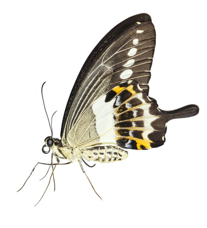Isolated of banded swallowtail butterfly (Papilio demolion) with clipping path