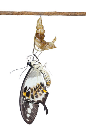 Isolated banded swallowtail butterfly (Papilio demolion) emerging from chrysalis hanging on twig with clipping path