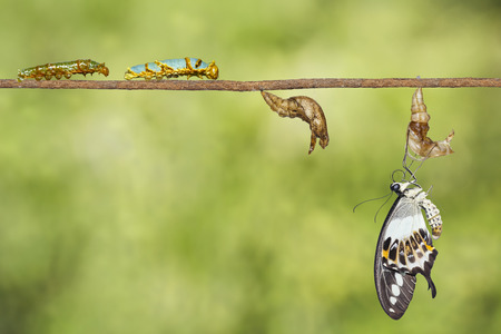 Transformation of banded swallowtail butterfly (Papilio demolion) from caterpillar , pupa and emerging Stock Photo