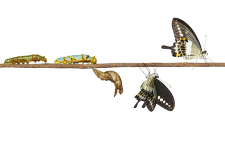 Isolated transformation of banded swallowtail butterfly (Papilio demolion) from caterpillar and pupa with clipping path Stock Photo