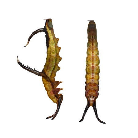 Isolated 5th mature instar caaterpillar of Common map (Cyrestis thyodamas ) butterfly on white with clipping path