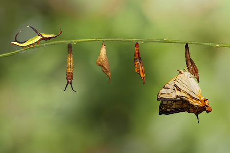 Life cycle  of common map (Cyrestis thyodamas ) butterfly from caterpillar on twig Stock Photo