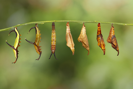 Transformation of common map (Cyrestis thyodamas ) butterfly from caterpillar to pupa on twig