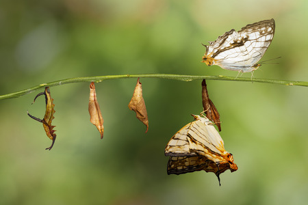 metamorphosis: Transformation of common map (Cyrestis thyodamas ) butterfly from caterpillar on twig