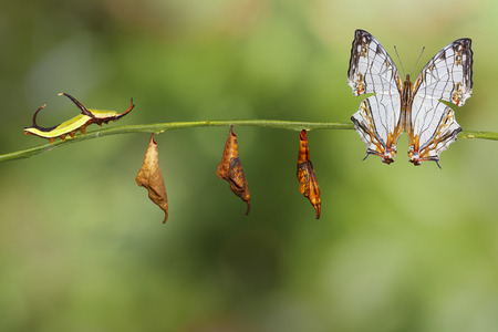 nymphalidae: Transformation of common map (Cyrestis thyodamas ) butterfly from caterpillar on twig