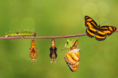 Life cycle of colour segeant butterfly ( Athyma nefte ) from caterpillar and pupa hanging on twig Stok Fotoğraf