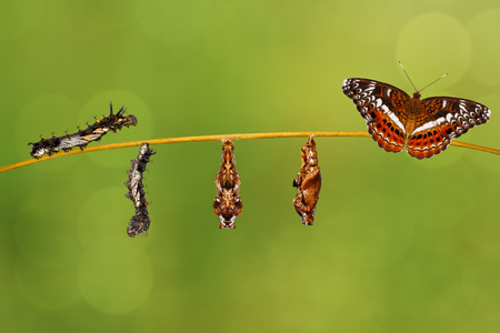Transformation caterpillar to pupa of commander butterfly ( Moduza procris ) resting on twig with green background Stock Photo