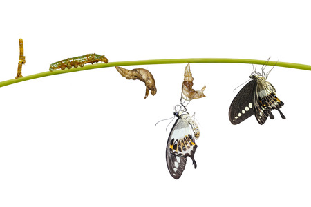 Isolated transformation life cycle of banded swallowtail butterfly (Papilio demolion) from egg to caterpillar Stock Photo