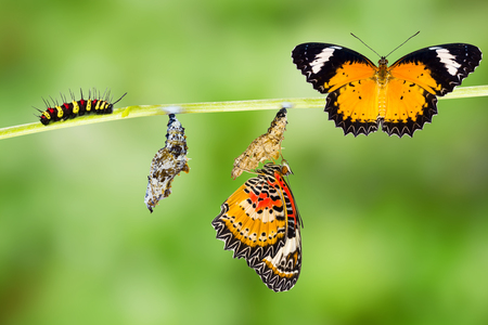 Isolated Male Leopard lacewing (Cethosia cyane euanthes)  butterfly , caterpillar, pupa and emerging