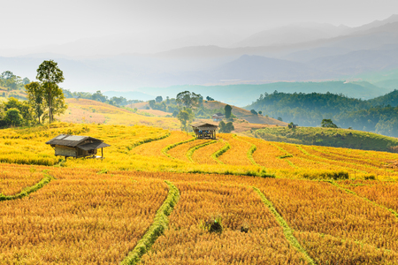 Small hut and rice field with rice stubble left after harvesting at Ban Pa Pong Piang at sunset, Chiang Mai province, Thailand