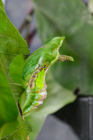 Chrysali ( pupa ) of banded swallowtail butterfly (Papilio demolion) hanging on leaf
