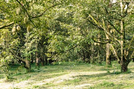 과수원의 나뭇 가지에 열대 과일의 왕인 신선한 몬 끈 또는 황금 베개 두리안 스톡 콘텐츠
