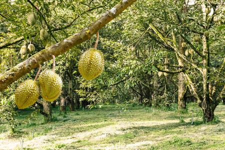 新鮮な月のひもや黄金の枕のドリアン、果樹園でその木の枝にトロピカル ・ フルーツの王