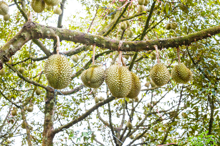 Fresh Mon Thong or Golden Pillow durian, king of tropical fruit, on its tree branch in the orchard 版權商用圖片