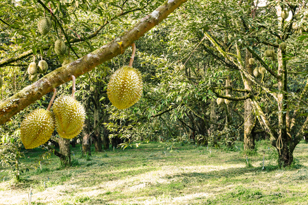 Fresh Mon Thong or Golden Pillow durian, king of tropical fruit, on its tree branch in the orchard Stock Photo