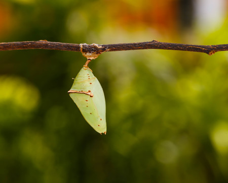 spinous: Chrisalis of the Common Archduke buttterfly  ( Lexias pardalis jadeitina ) hanging on twig
