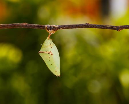 Chrisalis of the Common Archduke buttterfly  ( Lexias pardalis jadeitina ) hanging on twig