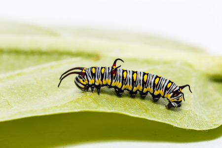 Caterpillar of plain tiger butterfly ( danaus chrysippus chrysippus )eating leaf of host plant Stock Photo