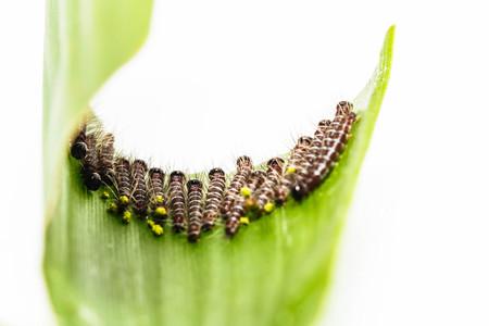 Black caterpillar of common duffer butterfly ( Discophota sondaica Boisduval ) eating thier host plant Stock Photo