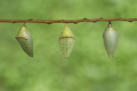 Chrysalis of Common Archduke butterfly ( Lexias pardalis jadeitina ) hanging on twig Stock Photo