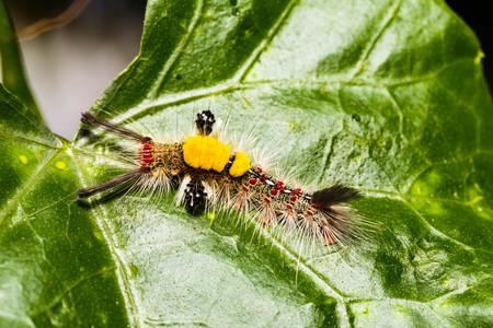 Brown Tussock Moth Olene mendosa on leaf