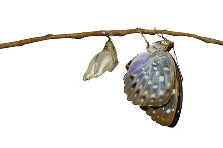 Isolated Common Archduke butterfly emerging from chrysalis ( Lexias pardalis jadeitina ) hanging on twig