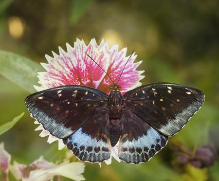 Dorsal view of male Common Archduke butterfly ( Lexias pardalis jadeitina ) on flower Stock Photo