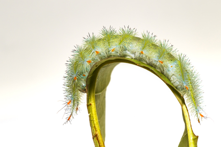 Caterpillar of Common Archduke butterfly ( Lexias pardalis jadeitina ) walking on leaf