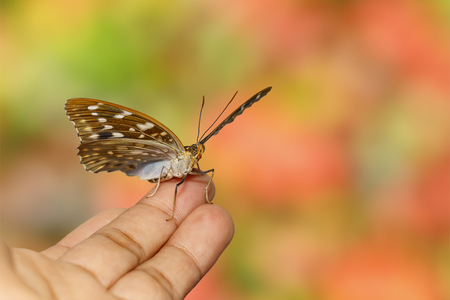Common Archduck butterfly  ( Lexias pardalis jadeitina ) resting on human hand