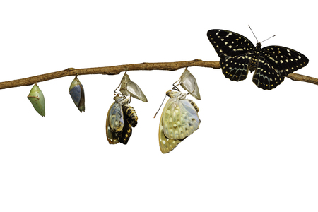 Isolated transformation of Common Archduke butterfly emerging from chrysalis ( Lexias pardalis jadeitina ) hanging on twig with clipping path Stock Photo