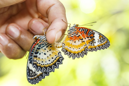 Mating Leopard lacewing (Cethosia cyane euanthes) butterfly hanging on human finger Stock Photo