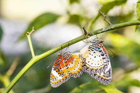 Mating Leopard lacewing (Cethosia cyane euanthes) butterfly hanging on plant