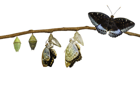 Isolated transformation of Male Common Archduke butterfly emerging from chrysalis ( Lexias pardalis jadeitina ) hanging on twig