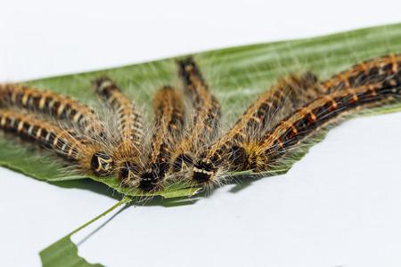 Last instar black caterpillar of common duffer butterfly ( Discophota sondaica Boisduval ) resting on host plant Stock Photo