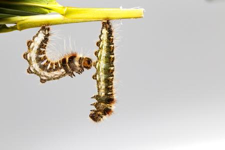 Black caterpillar of common duffer butterfly ( Discophota sondaica Boisduval ) hanging on leaf plant Stock Photo