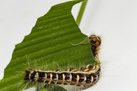 Black caterpillar of common duffer butterfly ( Discophota sondaica Boisduval ) resting on host plantt