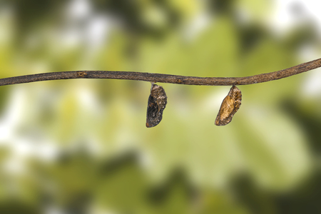 Chrysalis of blue pansy butterfly ( Junonia orithya Linnaeus ) hangng on twig Stock Photo