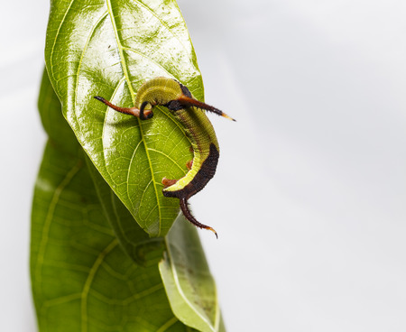 Close up caterpillar of Common map (Cyrestis thyodamas ) butterfly resting on host plant leaf Stock Photo