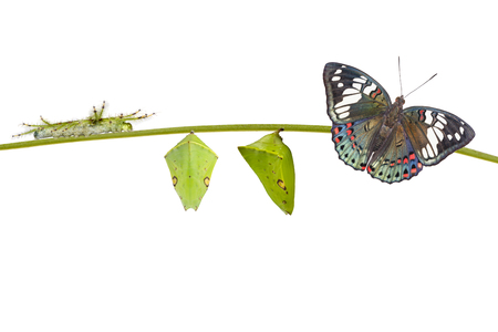 Life cycle of  of Common Gaudy Baron butterfly ( Euthalia lubentina ) on white background