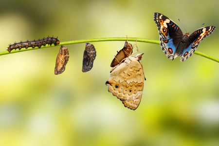 Life cycle of male blue pansy butterfly ( Junonia orithya Linnaeus ) from chrysalis and chrysalis on twig
