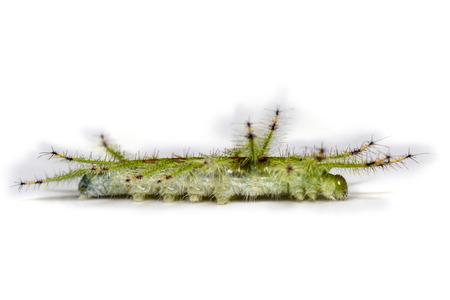 Caterpillar of the Common Gaudy Baron butterfly ( Euthalia lubentina ) Banco de Imagens