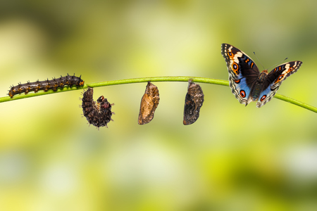 Life cycle of male blue pansy butterfly ( Junonia orithya Linnaeus ) on twig