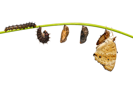Isolated life cycle of female blue pansy butterfly ( Junonia orithya Linnaeus ) from chrysalis and chrysalis on twig with clipping path
