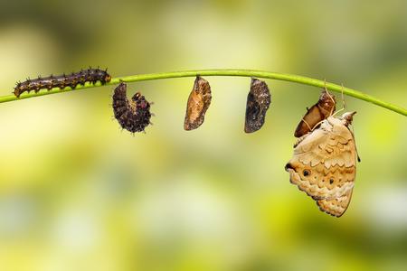 Cycle de vie du papillon femelle de la pensée bleue (Junonia orithya Linnaeus) de la chrysalide et de la chrysalide sur la brindille