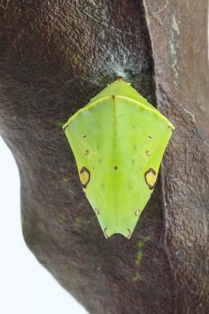 Chrysalis der Commom Gaudy Baron Schmetterling (Euthalia lubentina) hängt an trockenem Blatt Standard-Bild - 85356051
