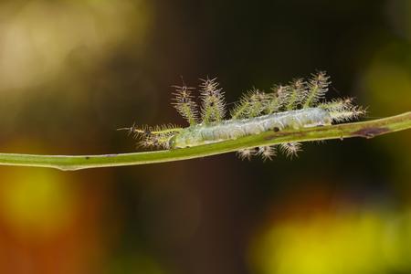 Caterpillar of the Common Gaudy Baron butterfly ( Euthalia lubentina ) walking on twig Banco de Imagens